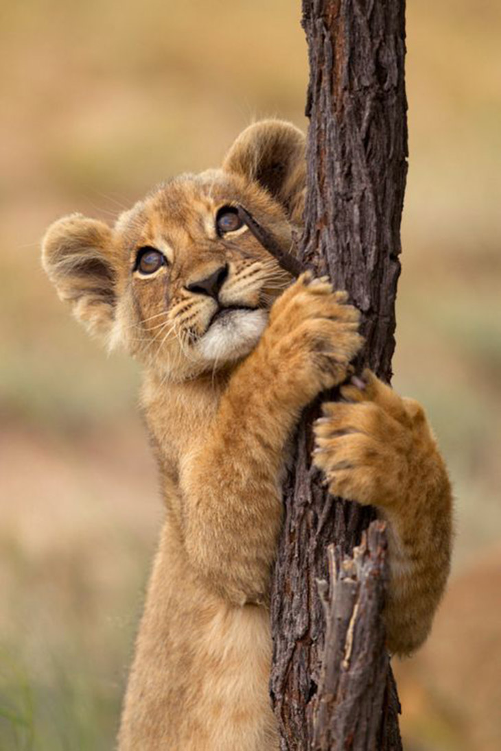 Filhote de leão! apaixonante! Imagem do pinterest